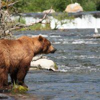 pozorovani-medvedu