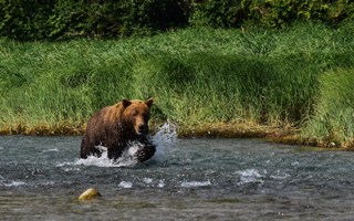 Medvědi Katmai Coast