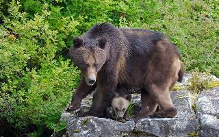 Pozorování medvědů v Khutzeymateen