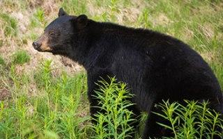 Whistler – Pozorování medvědů
