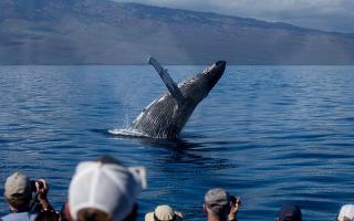 Pozorování velryb Maui