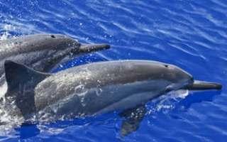 maui pozorovani delfinu