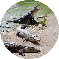 zazitkove-sluzby-krokodili-v-usa